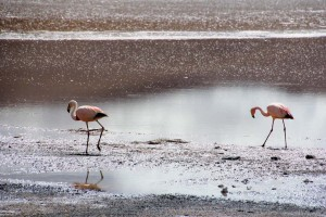 flamands roses en bolivie