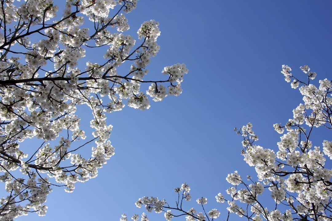 Cerisiers japonais