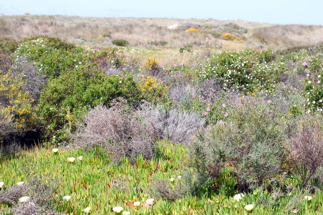 Végétation maquis Corse