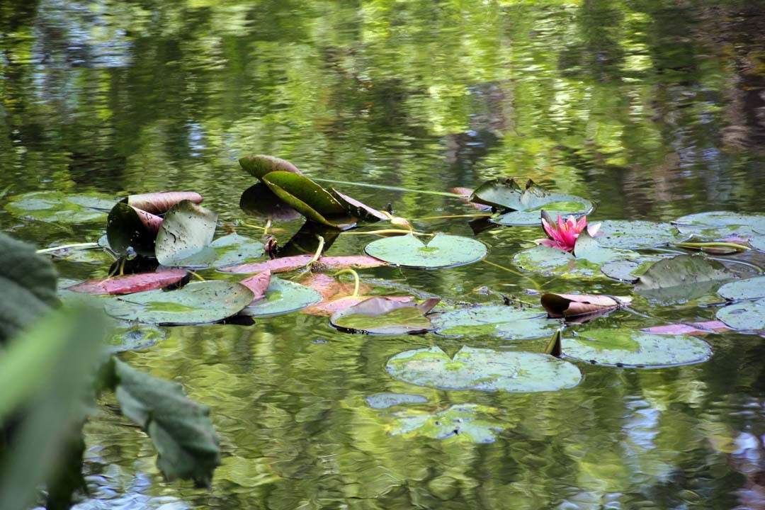 Jardins Claude Monet à Giverny bassin nympheas