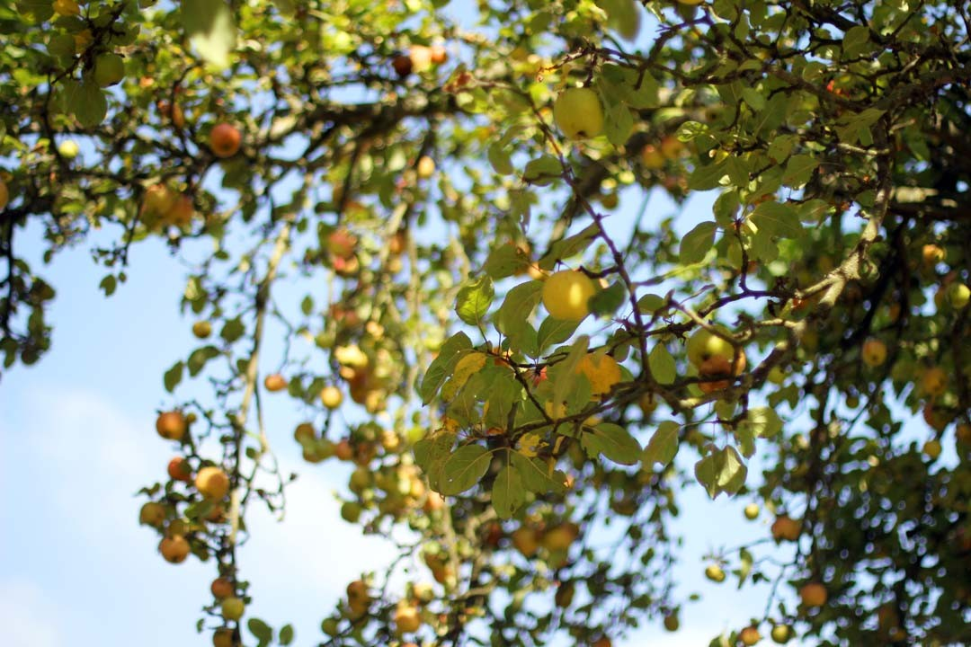 Pommier au soleil