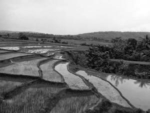 Rizières Indonésie