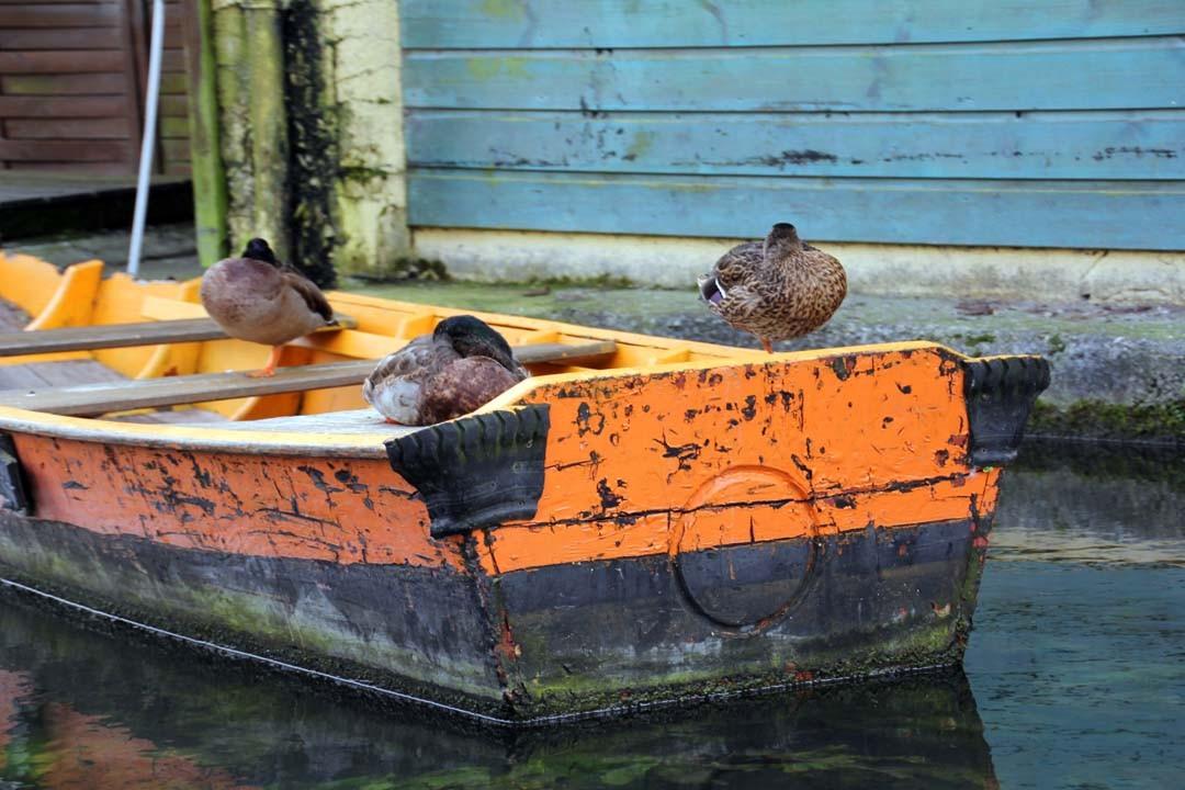Barque et canards