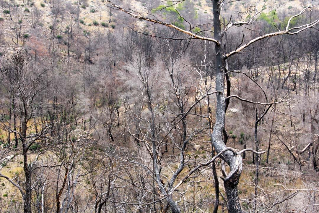 Forêt brûlée à Ibiza