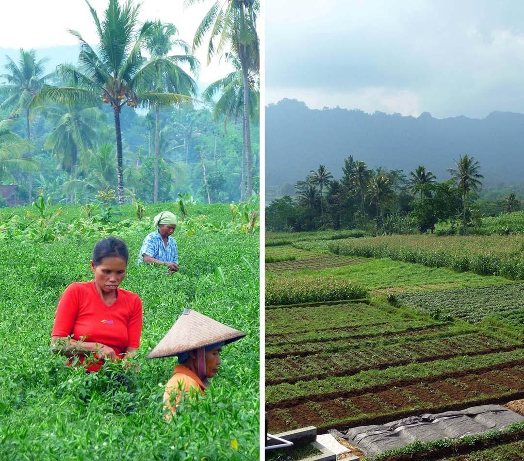 Java paysage récolte piments