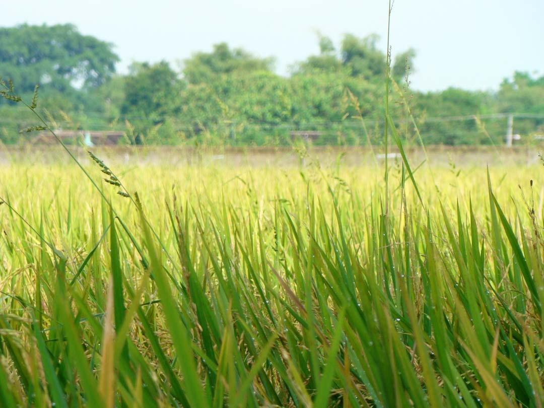 Java rizière
