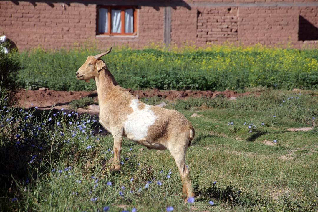 Chèvre dans un village en Argentine