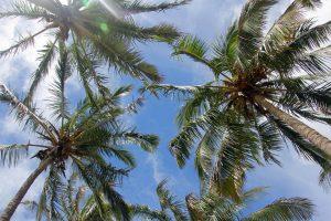 Palmiers de l'Ile de Pâques - Rapa Nui