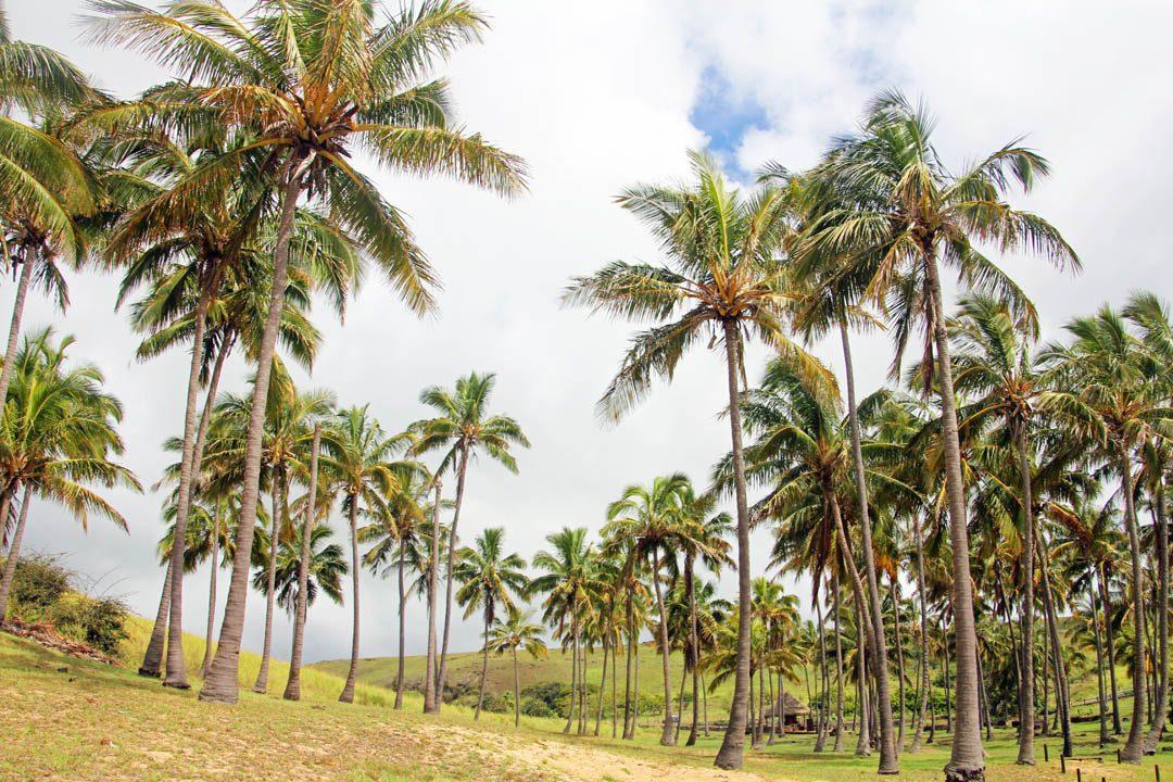 Palmiers sur la plage Anakena à l'Ile de Pâques - Rapa Nui