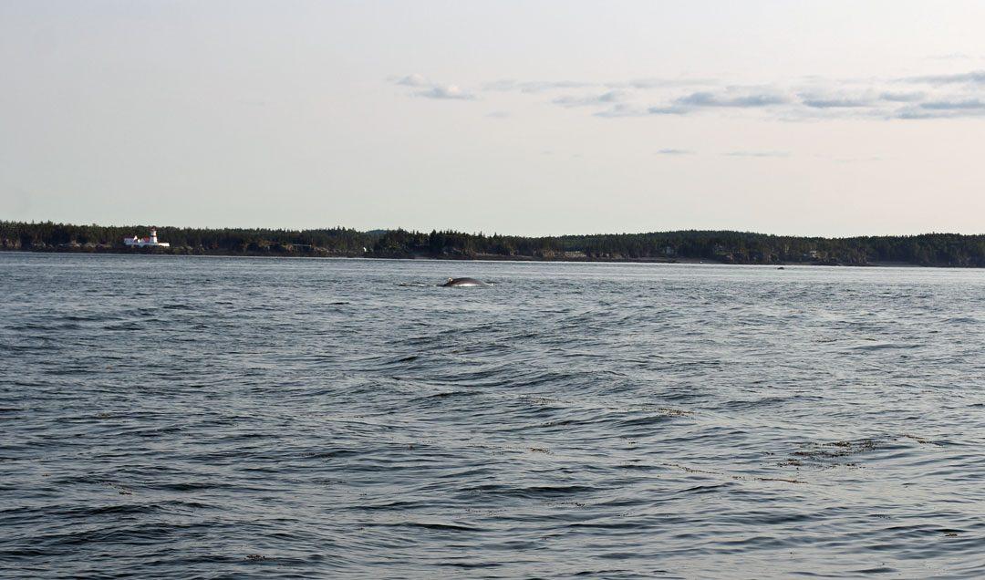 Baleines à Saint Andrews au Canada