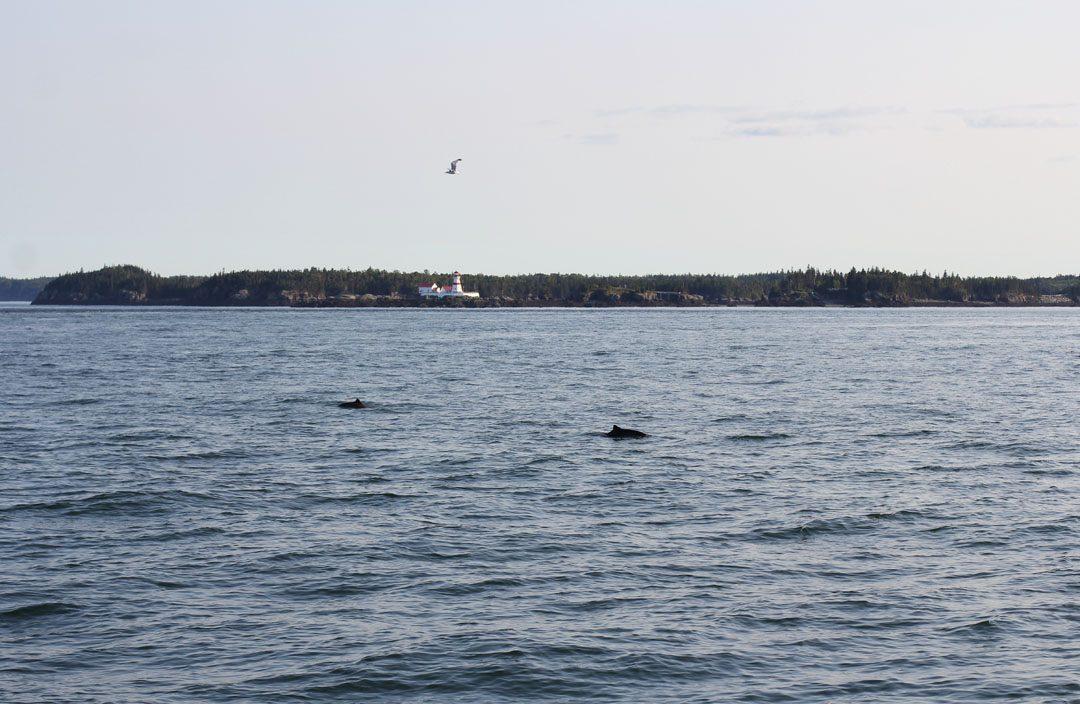 Croisière à la rencontre de dauphins et des baleines à Saint Andrews au Canada