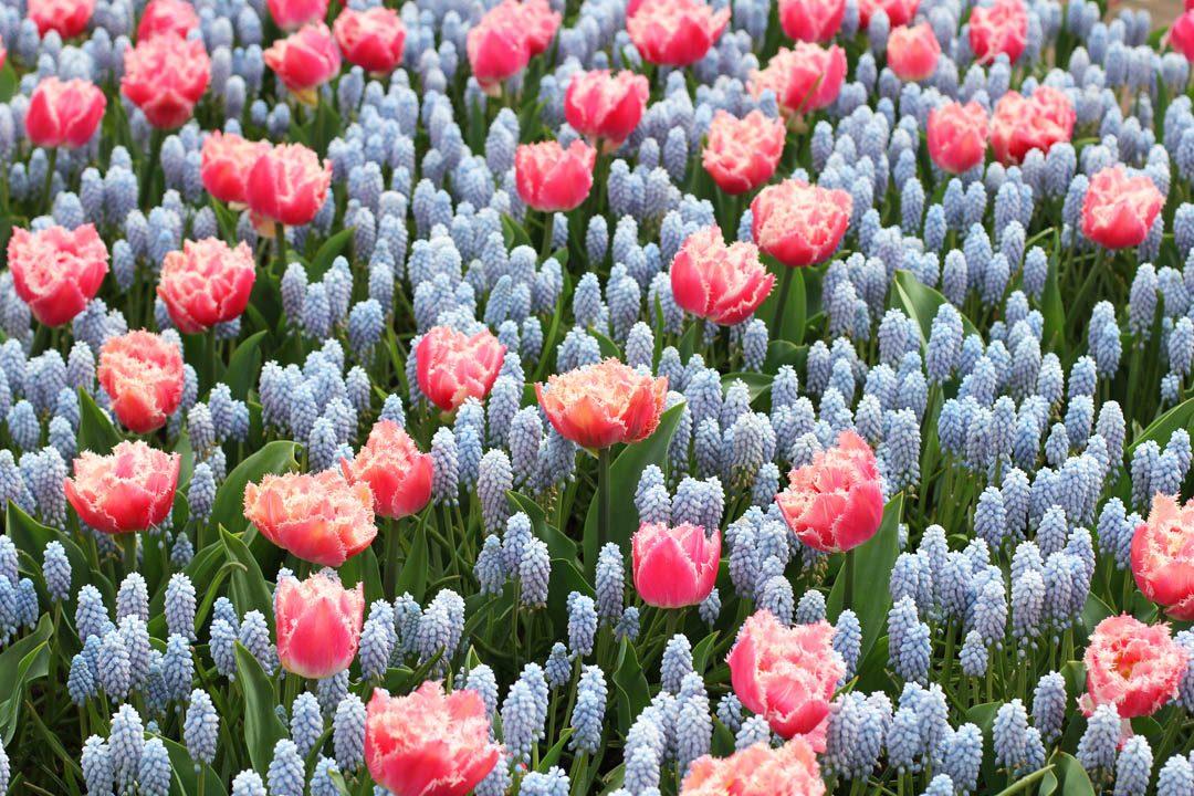 Fleurs au Parc Keukenhof aux Pays-Bas