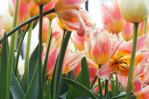 Tulipes au Parc Keukenhof aux Pays-Bas