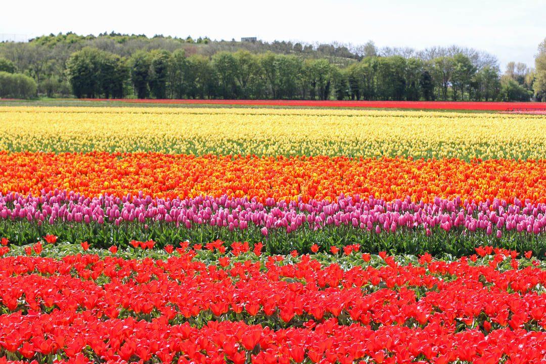 Champs de tulipes néerlandais