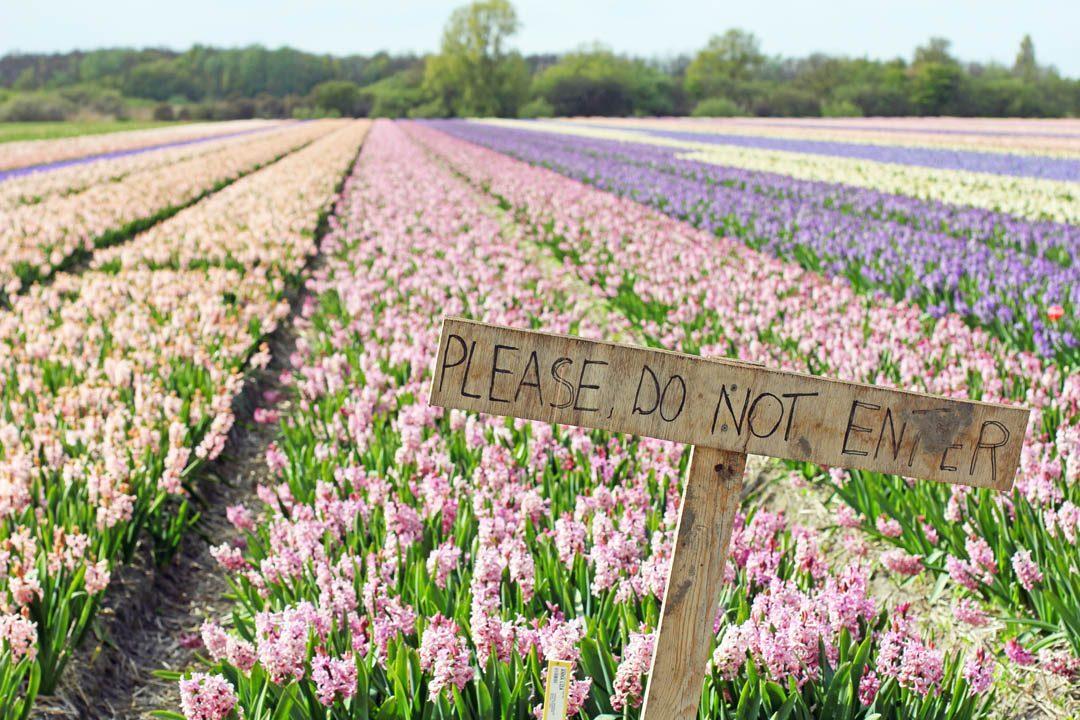 Champs de fleurs en Hollande