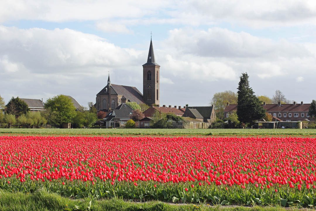Champs de tulipes hollandais