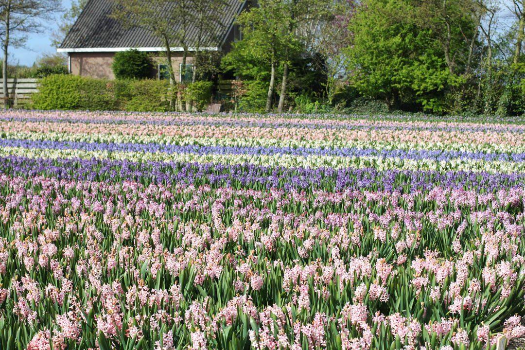 Champs de fleurs aux Pays-Bas