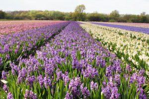 Champs de jacinthes aux Pays-Bas