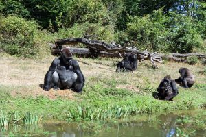 Gorilles à la Vallée des Singes